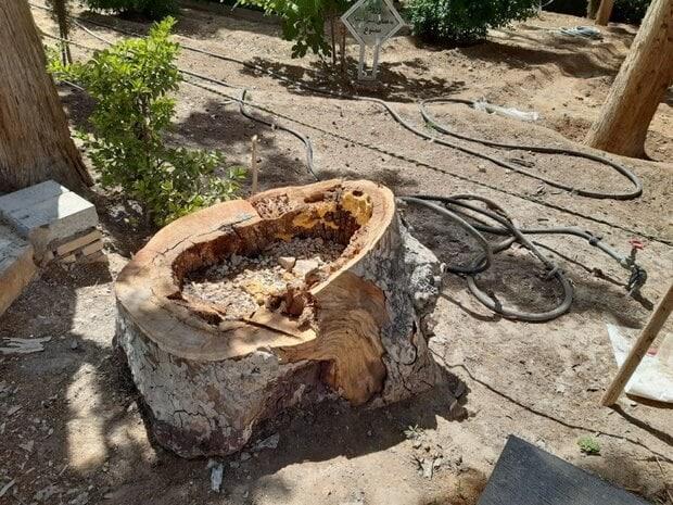 مدیر باغ فین کاشان: عاملان انسانی خشکیدن درختان باغ در مدیریتهای وقت جریمه شده اند