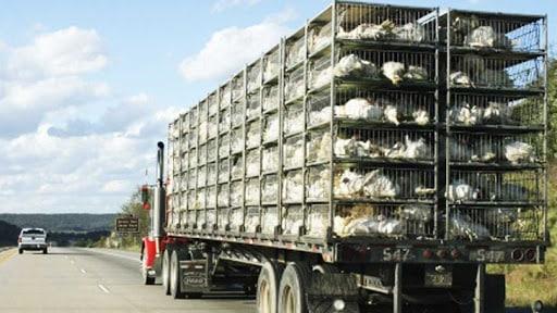 توقیف ۱۰ کامیون مرغ زنده در هنگام خروج از کاشان