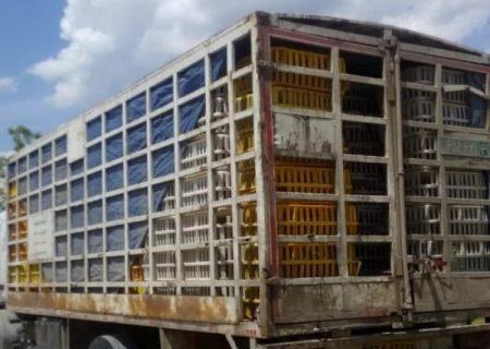 قاچاقِ ناکامِ بیش از ۲۰ تن مرغ زنده در کاشان